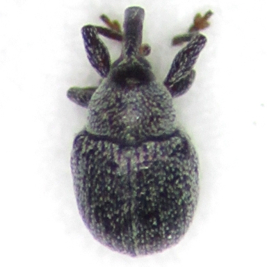 weev - Anthonomus robustulus