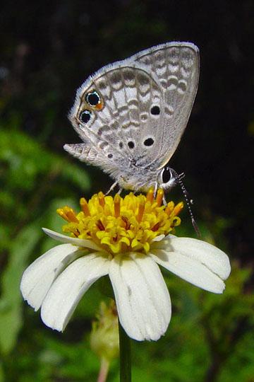 Miami Blue - Cyclargus thomasi