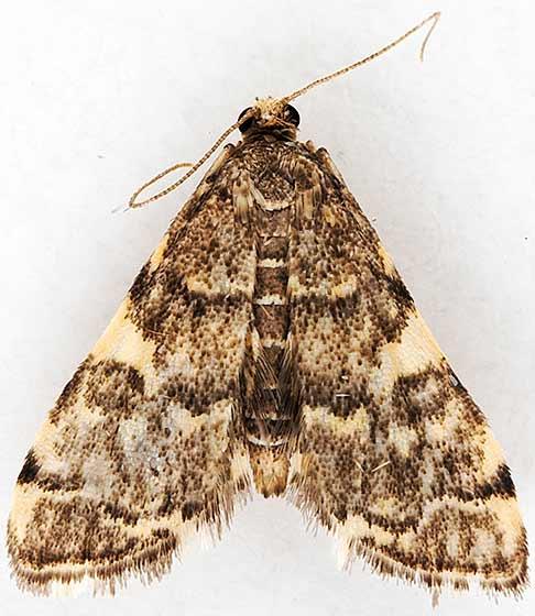 moth - Anageshna primordialis - female