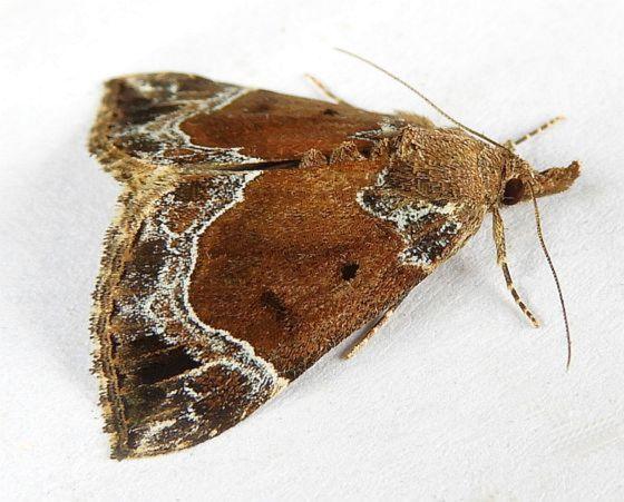 Pennsylvania Moth - Hypena abalienalis
