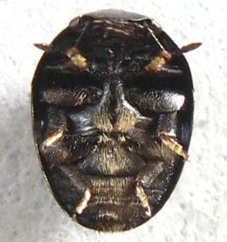 Tiny Beetle - Phalacrus