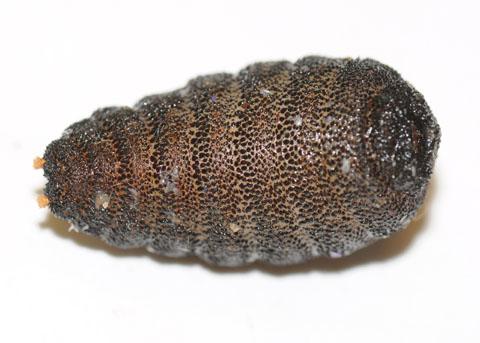 Cuterebra