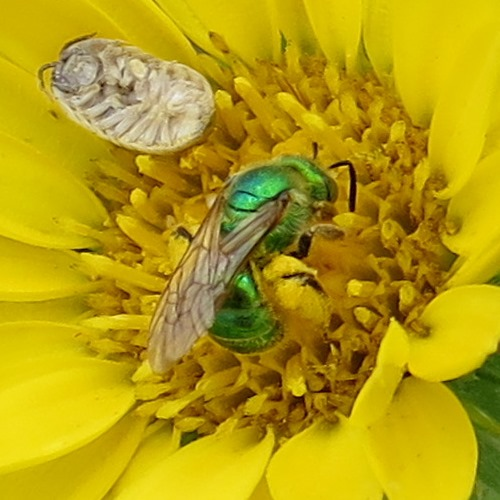Metallic green sweat bee - Agapostemon texanus - female