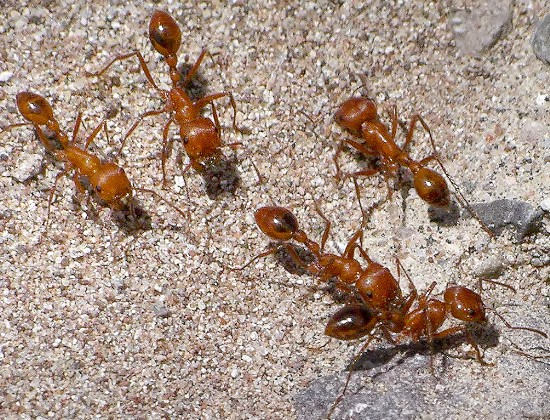 harvester ants - Pogonomyrmex maricopa - female