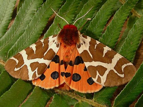 1221 Arctia caja - Garden Tiger Moth 8166 - Arctia caja