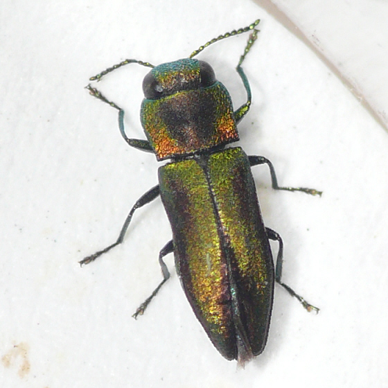 Metallic Wood-boring Beetle - Anthaxia dichroa
