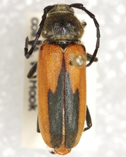 Crossidius suturalis LeConte - Crossidius suturalis - female