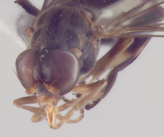 Syrphidae, head  - Sphegina
