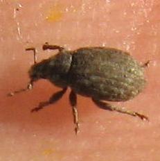 Cuculionidae 01 - Romualdius scaber