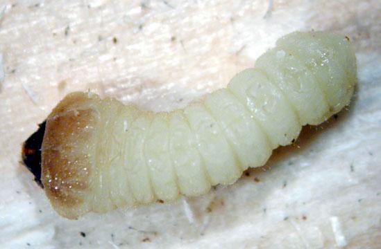 Brown spruce longhorn beetle - Tetropium fuscum