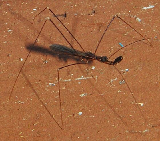 Thread Legged Bugs - Emesinae - Ploiaria