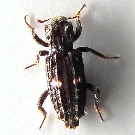 Crunchy-looking beetle with shiny spots - Lithophorus ornatus