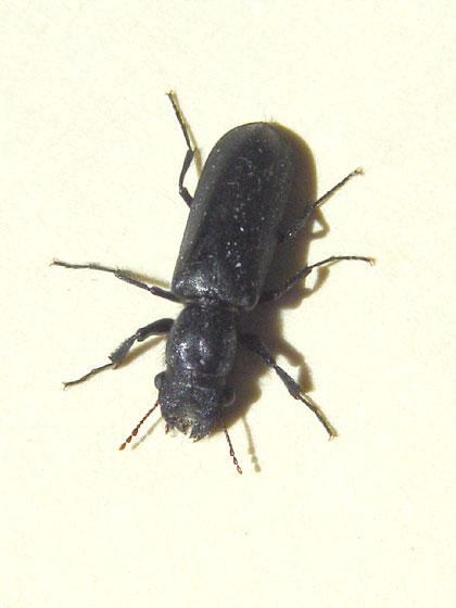 Bostrichid Beetle - Polycaon stoutii
