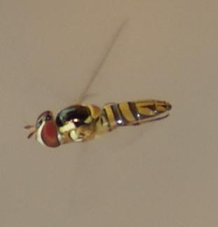 Toxomerus sp. - Allograpta obliqua