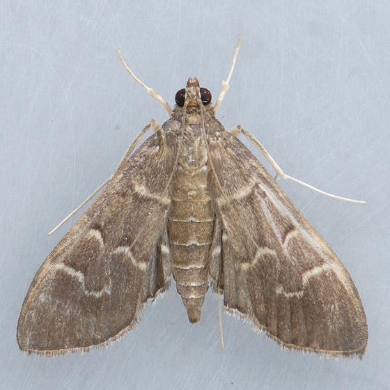 5281 Scraped Pilocrocis  - Pilocrocis ramentalis