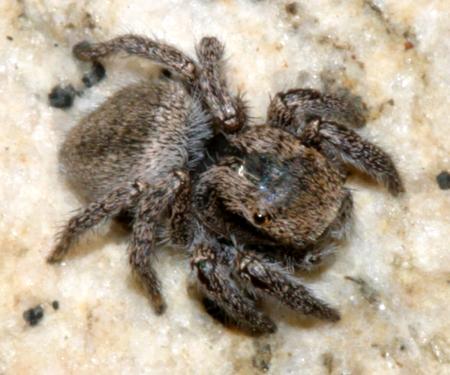 jumping spider - Habronattus viridipes - female