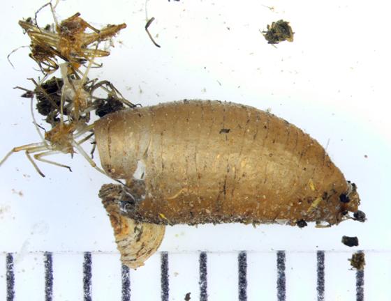Syrphidae, spent puparium