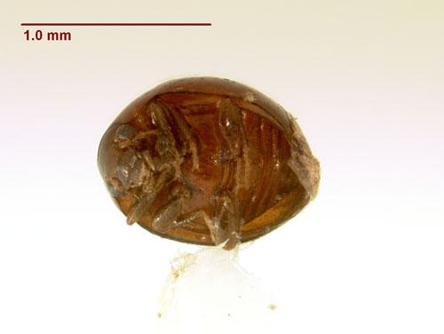 Rhymbomicrus sp. - Rhymbomicrus