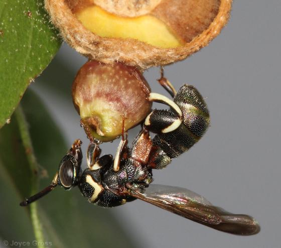 wasp at gall - Leucospis birkmani - male