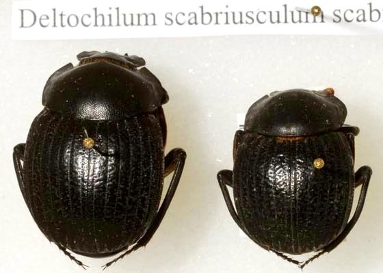 Deltochilum scabriusculum Bates - Deltochilum scabriusculum - male - female