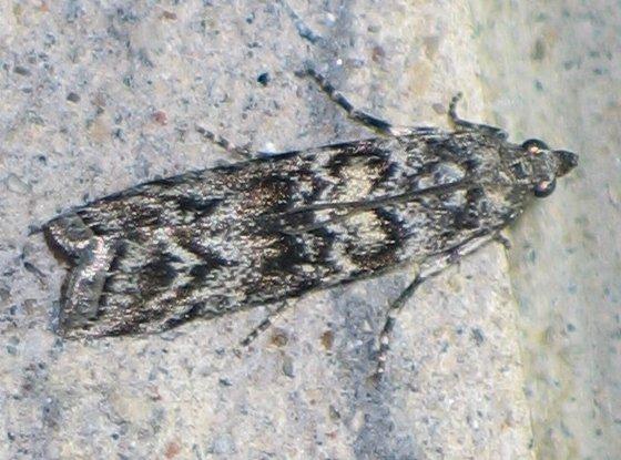 Fir Coneworm Moth - top - Dioryctria abietivorella