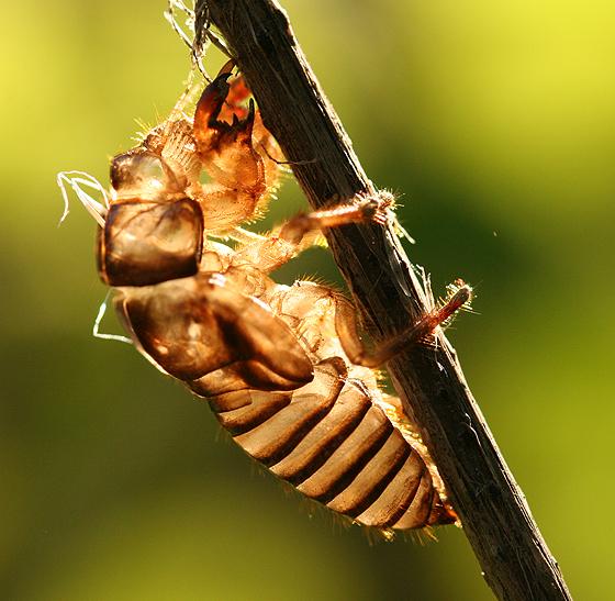Cicada Shell - Platypedia
