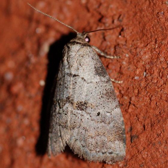 Moth at light - Hyperstrotia pervertens