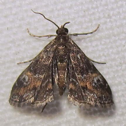 Hodges #4755 - Waterlily Leafcutter Moth - Elophila obliteralis