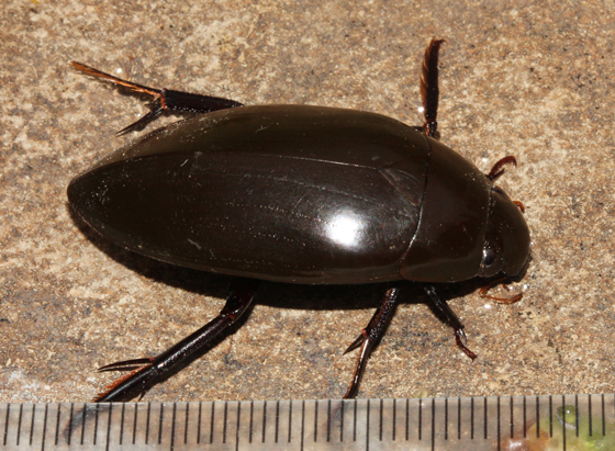Hydrophilidae, lateral - Hydrophilus triangularis