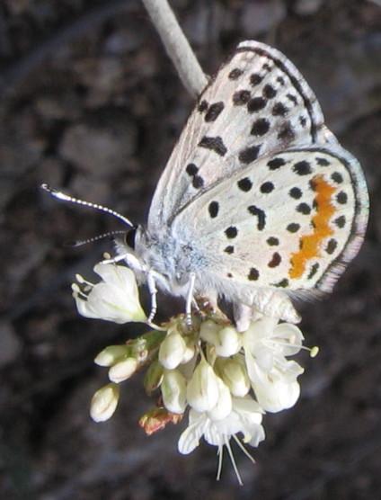 Rita Blue 2 - Euphilotes rita - male