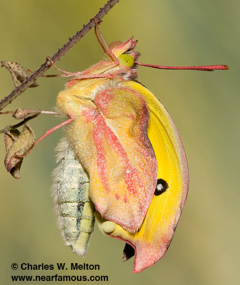 Southern Dogface Butterfly - Zerene cesonia