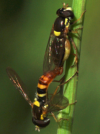 Syrphid Flies - male - female