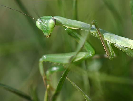 European Mantid nymph - Mantis religiosa