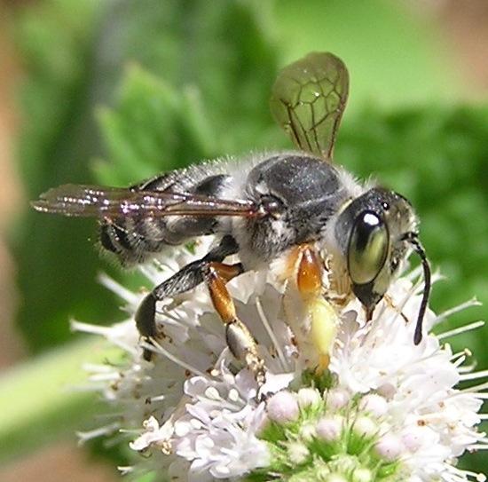 Need some help...again - Megachile policaris - male