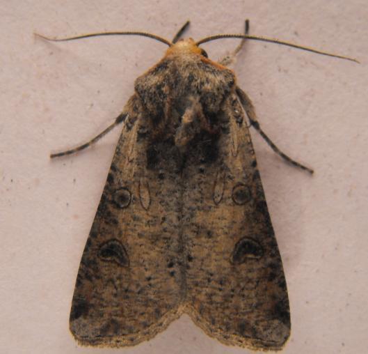 orange faced moth - Hemieuxoa rudens