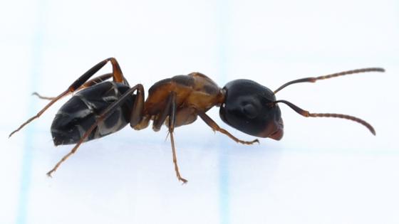 ant - Camponotus nearcticus