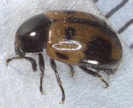 Tenebrionidae, dorsal-lateral - Diaperis maculata