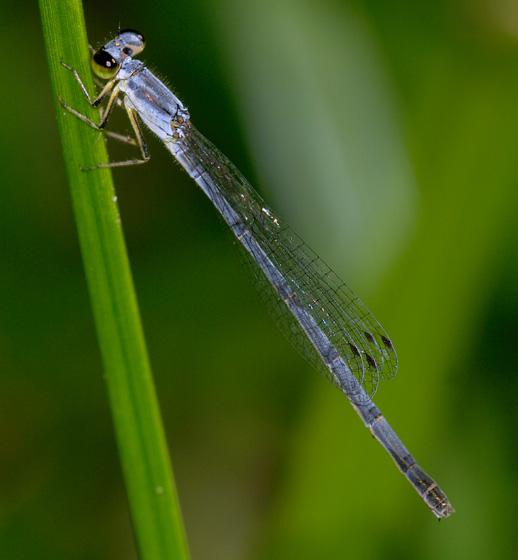 Damselfly ID? - Ischnura posita - female