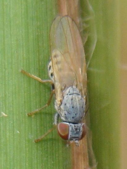 Chamaemyia? - Chamaemyia