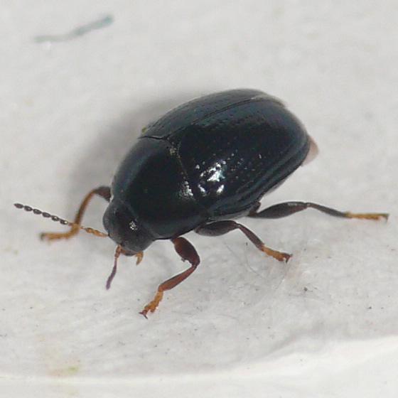 Leaf beetle (2) - Lexiphanes saponatus