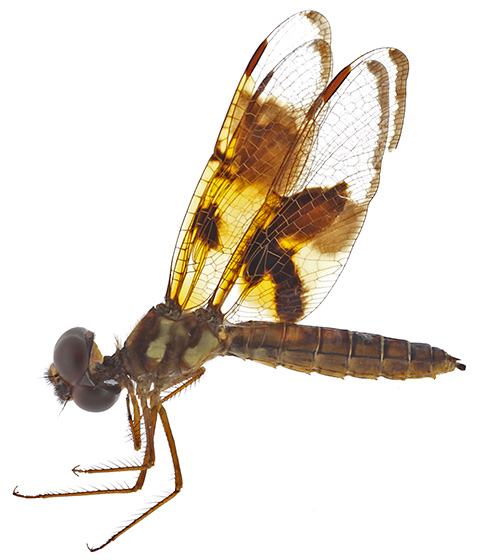 Amberwing - Perithemis tenera - female