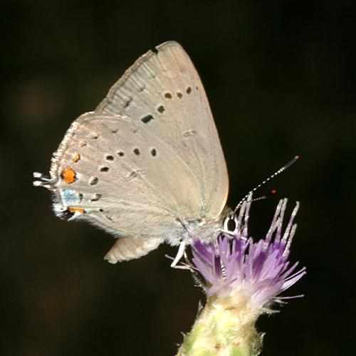 Sylvan Hairstreak - Satyrium sylvinum - female