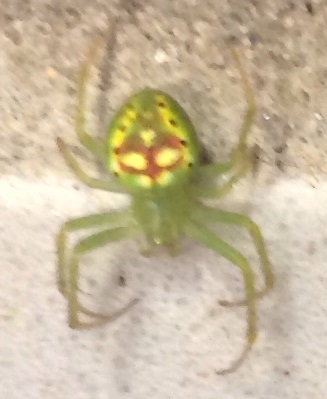 Spider, Cook Forest. PA , inside a bathroom. Please help id? Thanks. - Araneus cingulatus