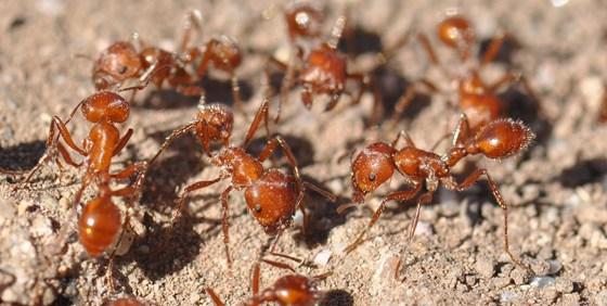 Harvester ants - photo#25