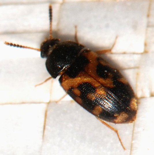 unknown beetle - Mycetophagus flexuosus