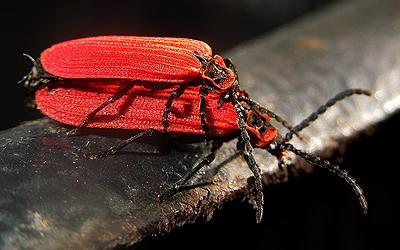 Dictyoptera 3 - Dictyoptera aurora