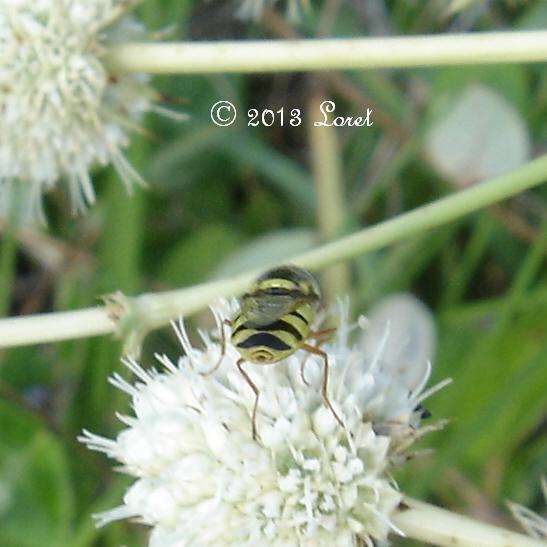 Soldier Fly -- Odontomyia cincta?? - Odontomyia rufipes