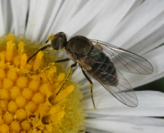 fly 146 - Acreophthiria