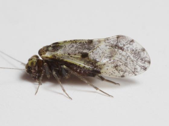 Loensia moesta - female