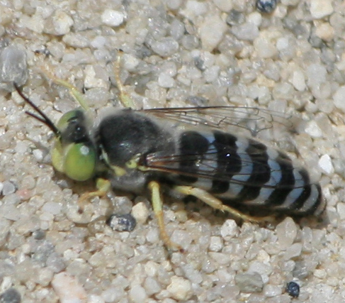 Sand burrowing bee, wasp, or fly - Bembix